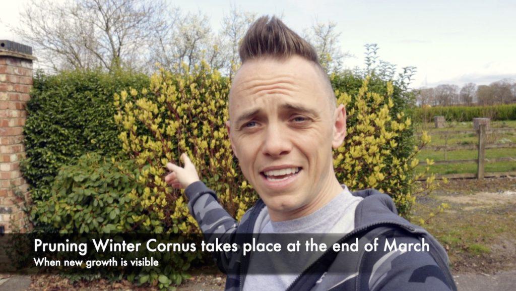 When to prune a cornus shrub explained by Garden Ninja
