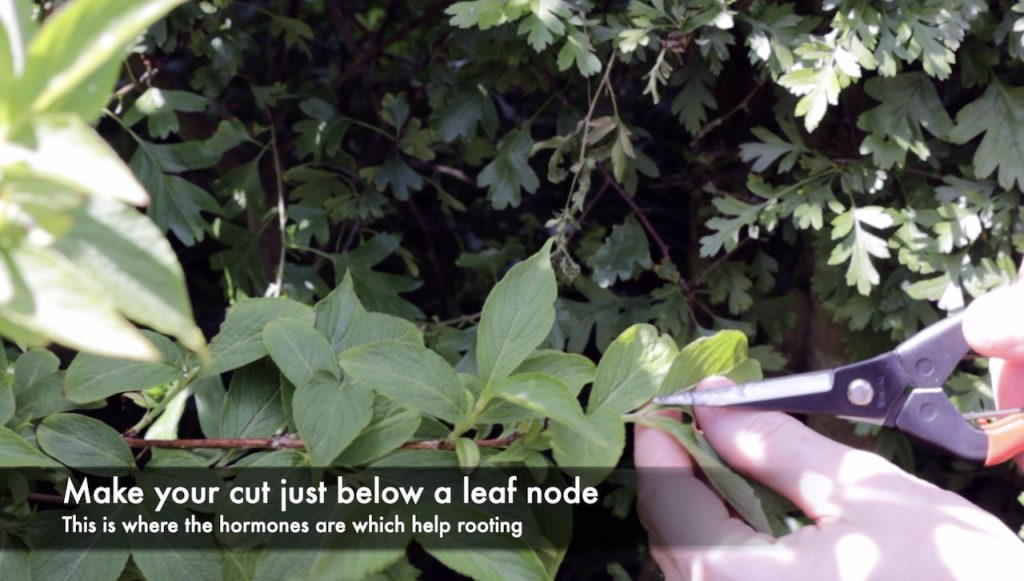 Taking a softwood cutting