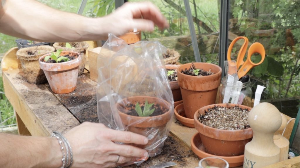 Potting on cuttings with a plastic bag