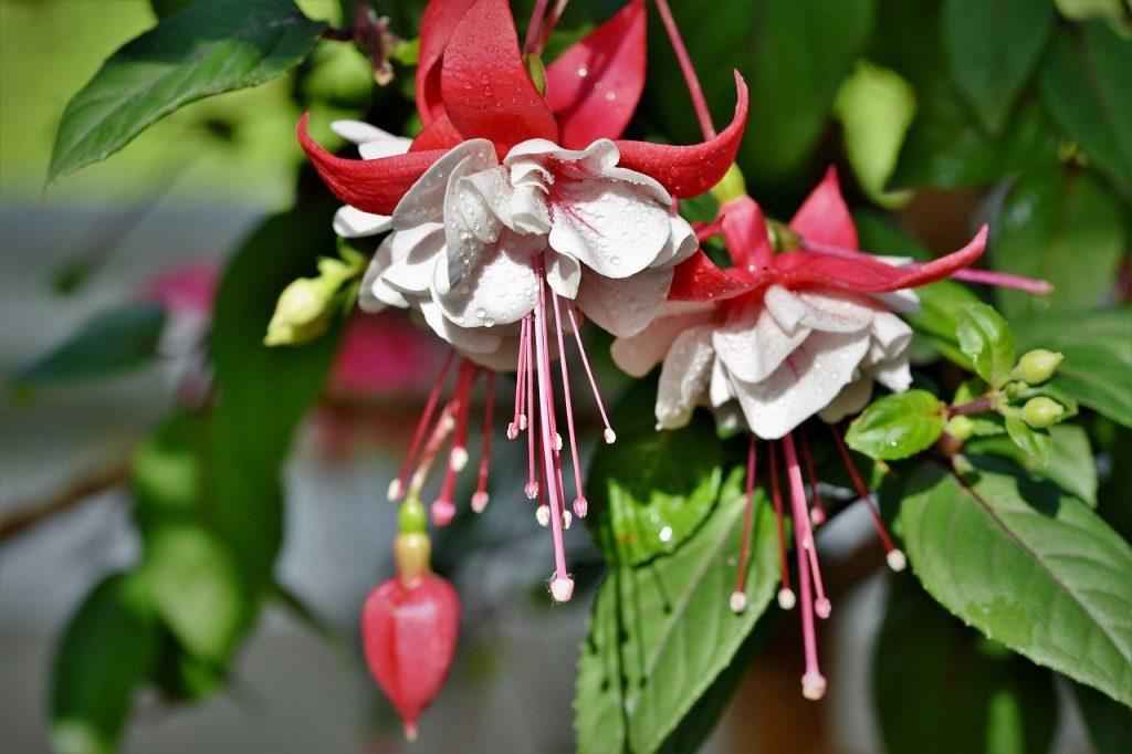 Fuchsia for softwood cuttings