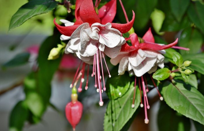 Fuchsia for softwood cuttings