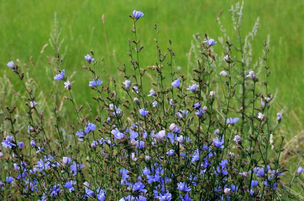 Chicory wildflower meadow plant