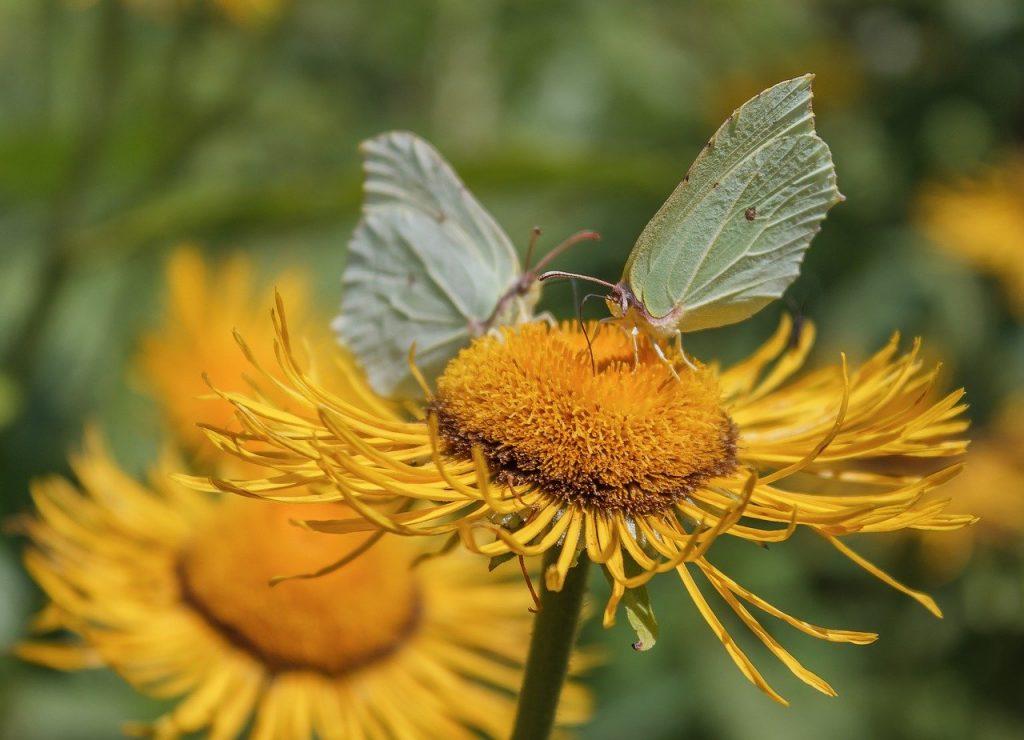 Elecampane Inula helenium wild flower