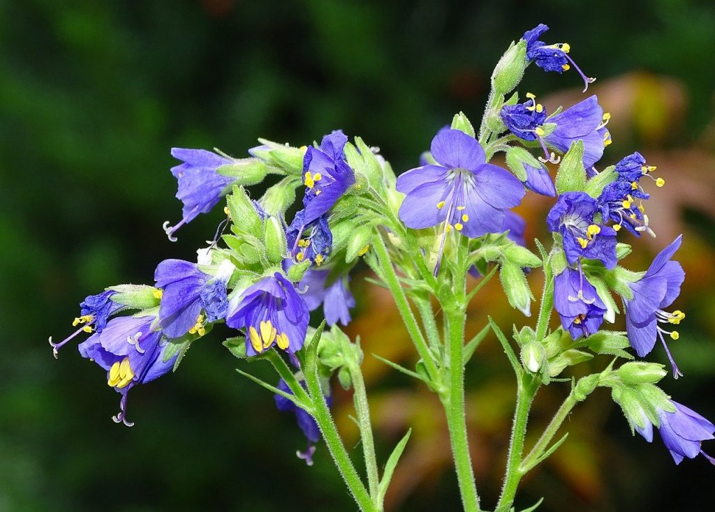 Jacobs ladder plant wild flower meadow