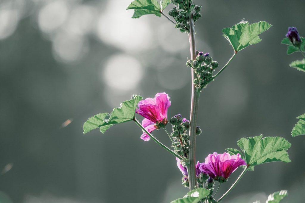 Mallow wildflower meadowplant