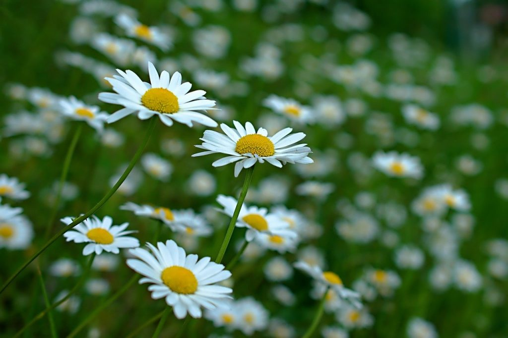 Oxeye daisy for a wildflower meadow