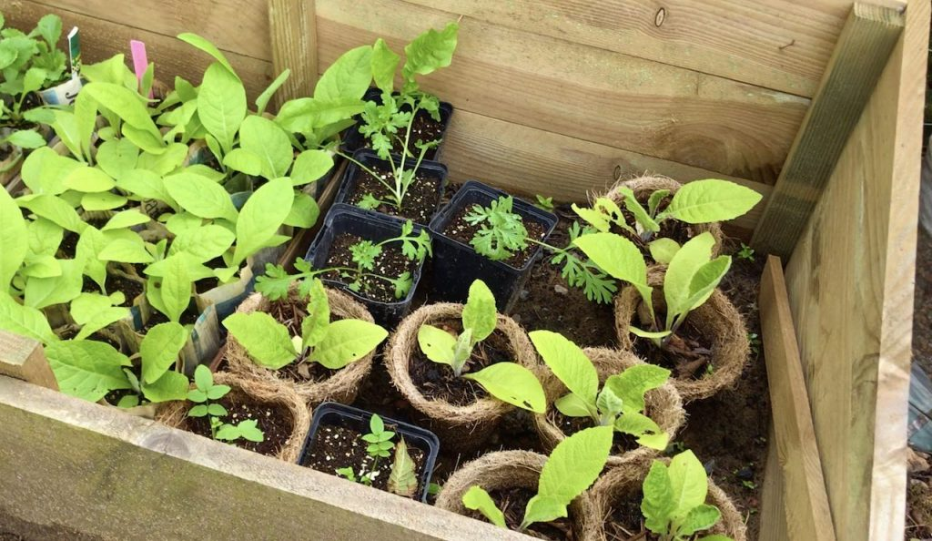 Perennial wild flowers growing in a cold frame