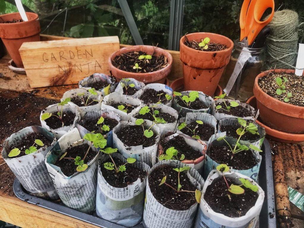 Garden Ninja growing wildflower seedlings