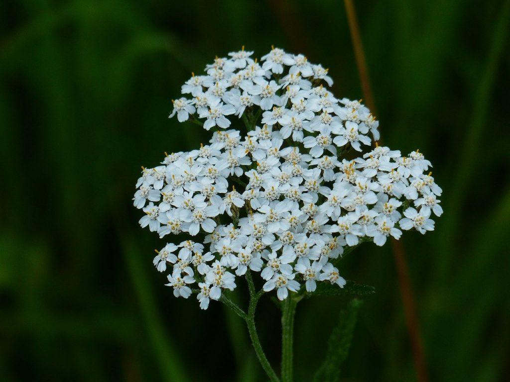 Yarrow Achillea wildflower meadow