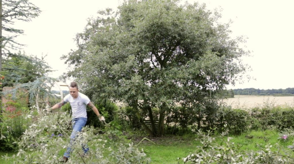 Garden Ninja pruning a evergreen oak tree