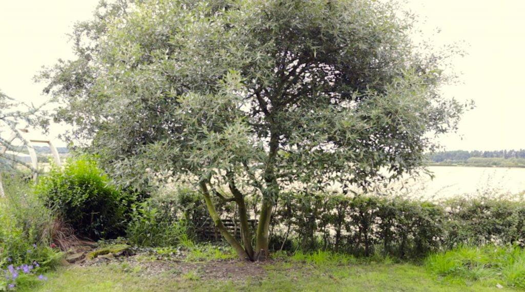 A mult stem pruned tree