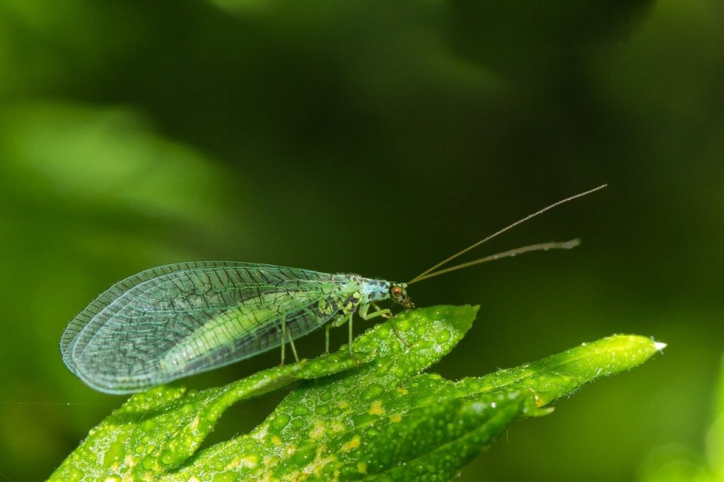 Lacewing bug hotel information