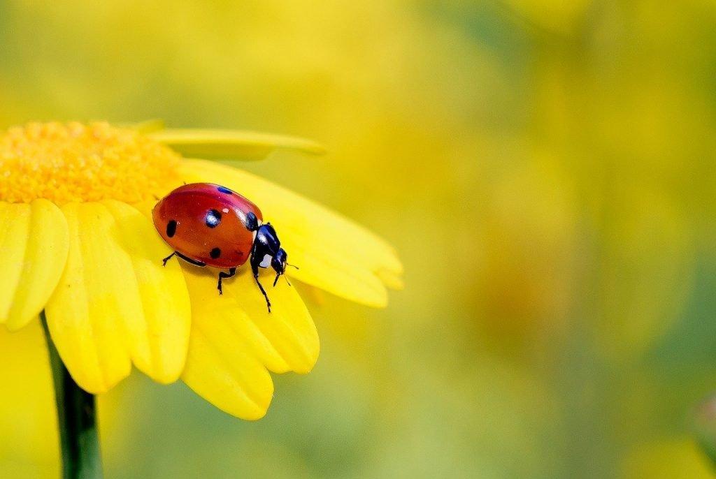 A ladybird on a petal