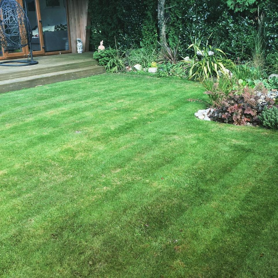 A lawn after scarification 6 weeks on