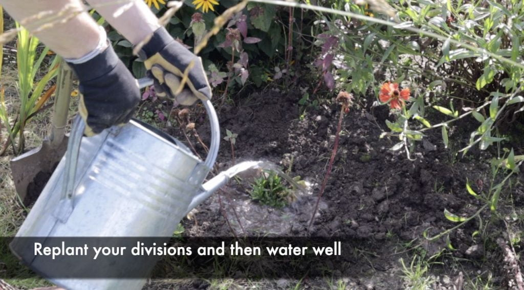 Watering newly divided plants