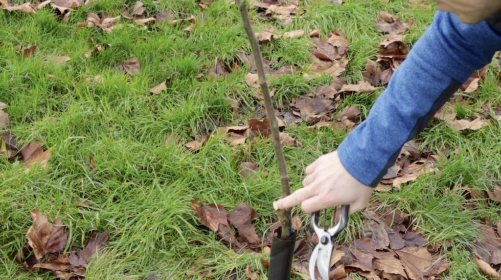Garden Ninja removing a double leader fruit tree