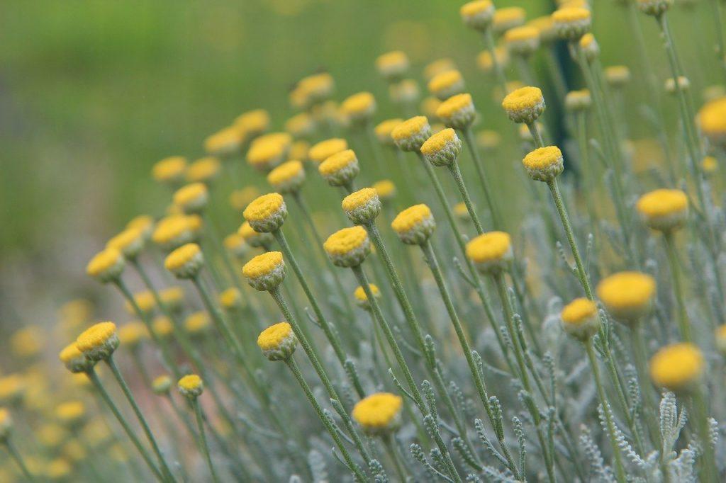 Santolina knot garden plant